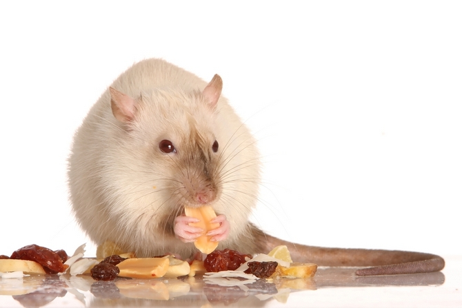 Best Dry Food for Rats | Pet Comments