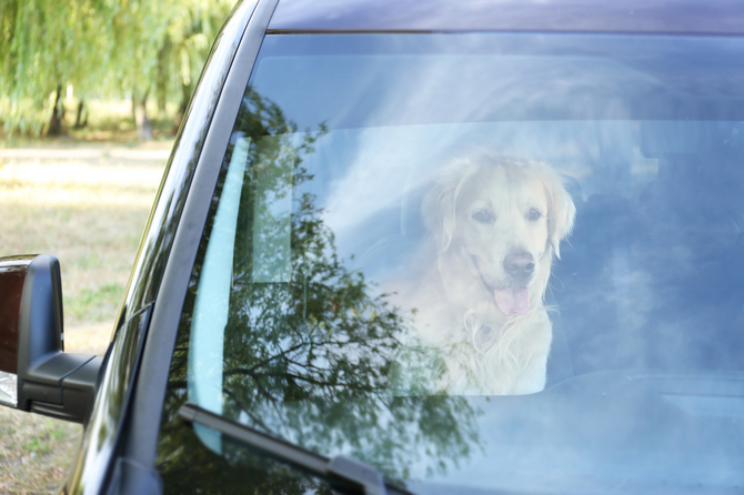 labrador dog in car