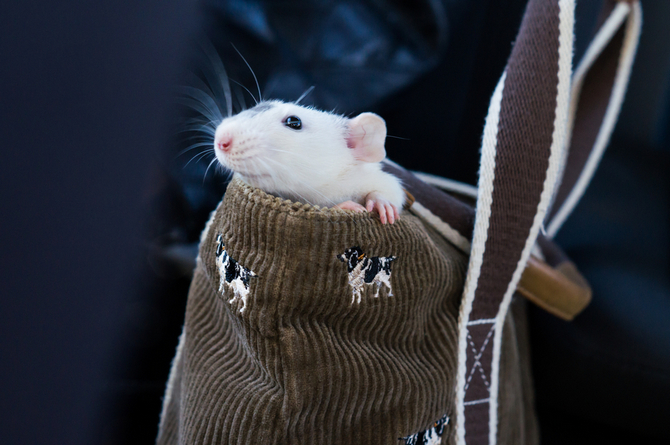 dumbo rat in purse