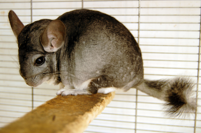 Best Chinchilla Cage