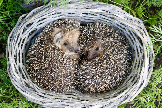 two cute young hedgehogs