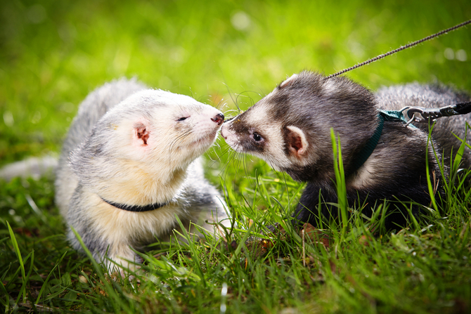 two ferret friends
