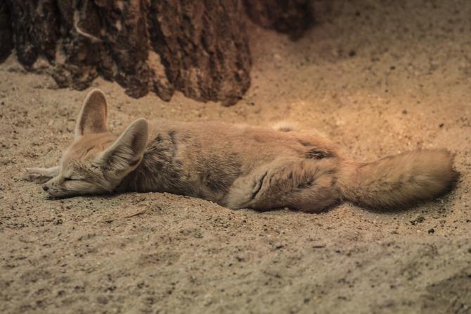 fennec fox sleep