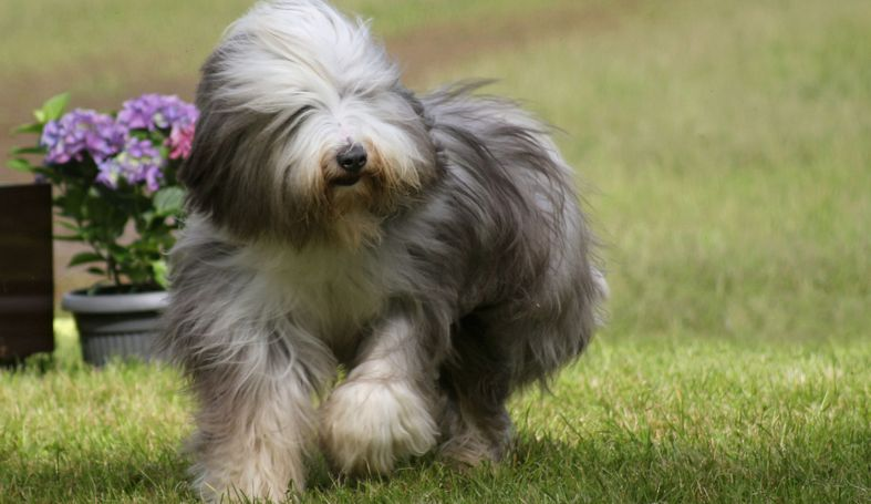 Top 11 long haired dog breeds will make you envy them | Pet Comments