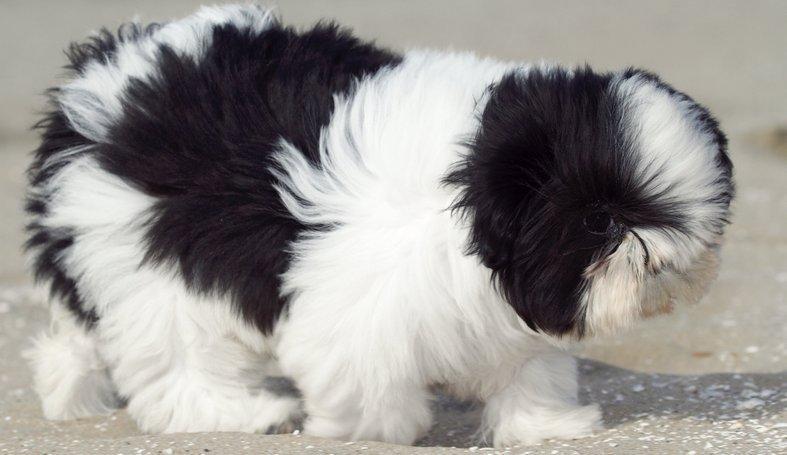 Dog Training For Lhasa Apso