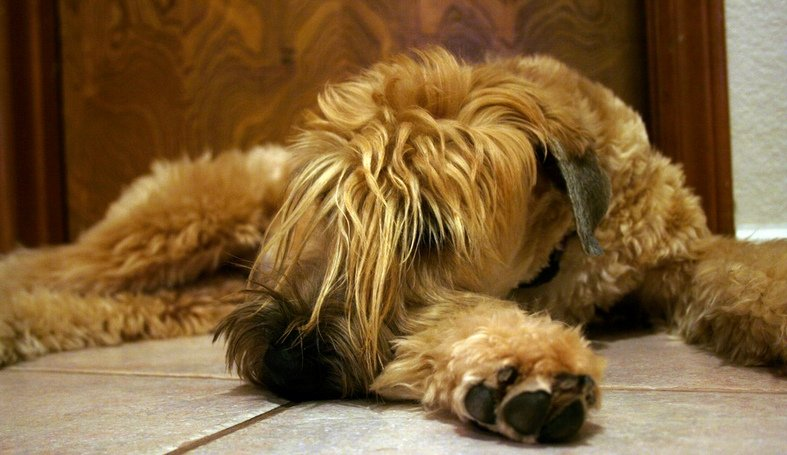 The Wheaten Terrier