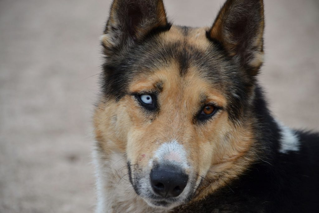 Shepherd With Two Different Colored Eyes
