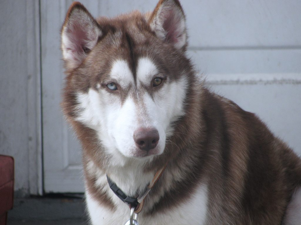 husky with different colored eyes