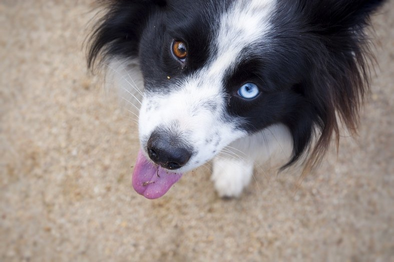 Gorgeous Dogs With Two Different Colored Eyes