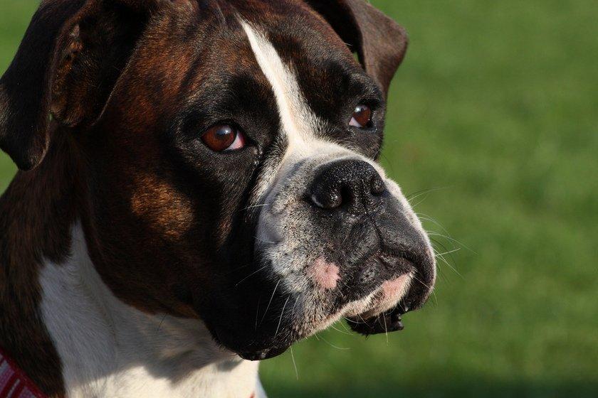 Top 10 Naughty Dog Breeds The Unpunishable Bad Boys
