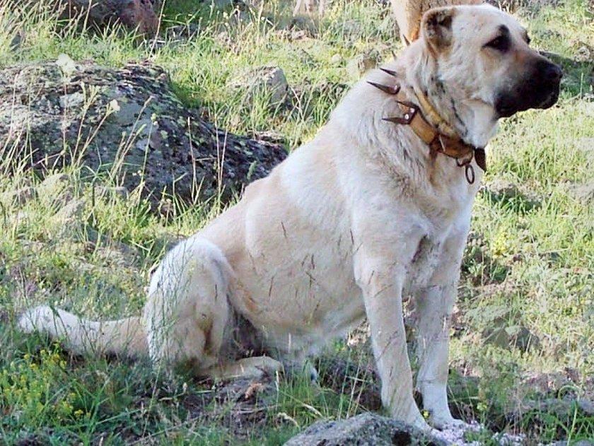 Kangal Dogs Bite Force