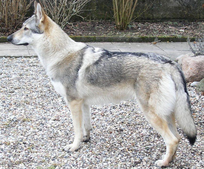 3. Dog with the Strongest Bite: Wolfdog