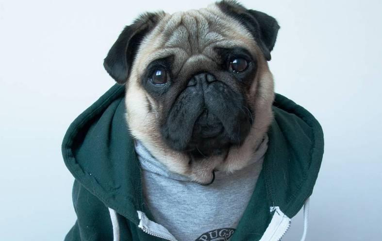 Nutello The Pug