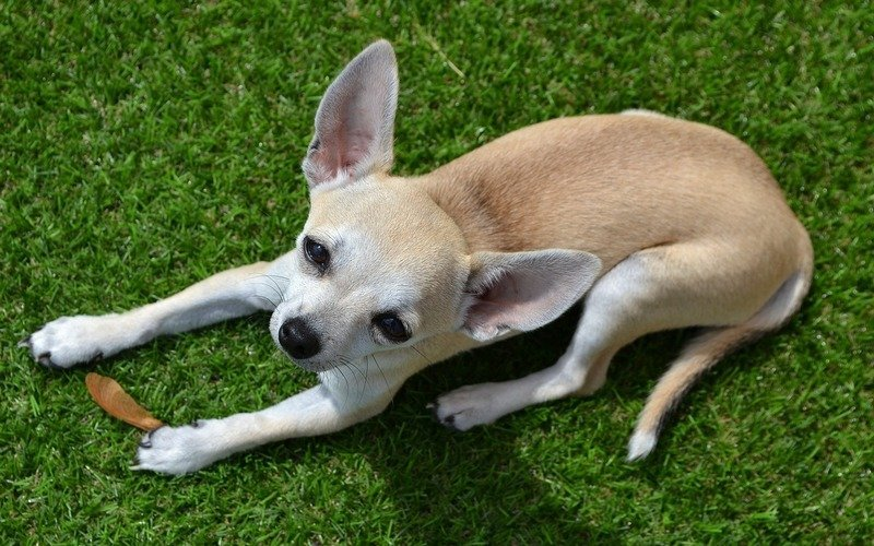 List Small Dogs That Don