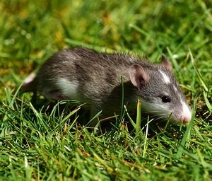 rats food