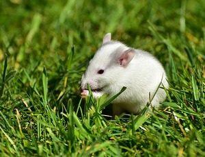 rats small