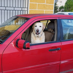 Dog Left Alone in a Car