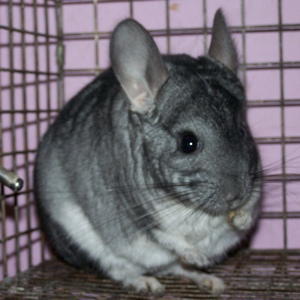 Best Cages for Chinchilla