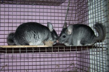 cages for chinchilla