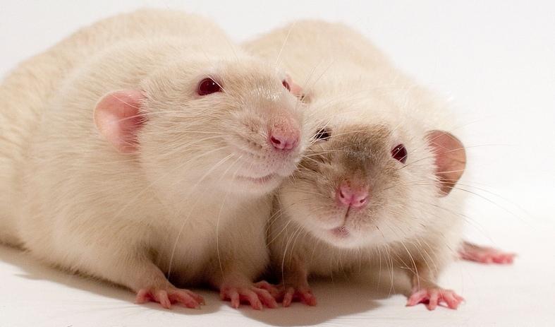 Dumbo Rat Pets