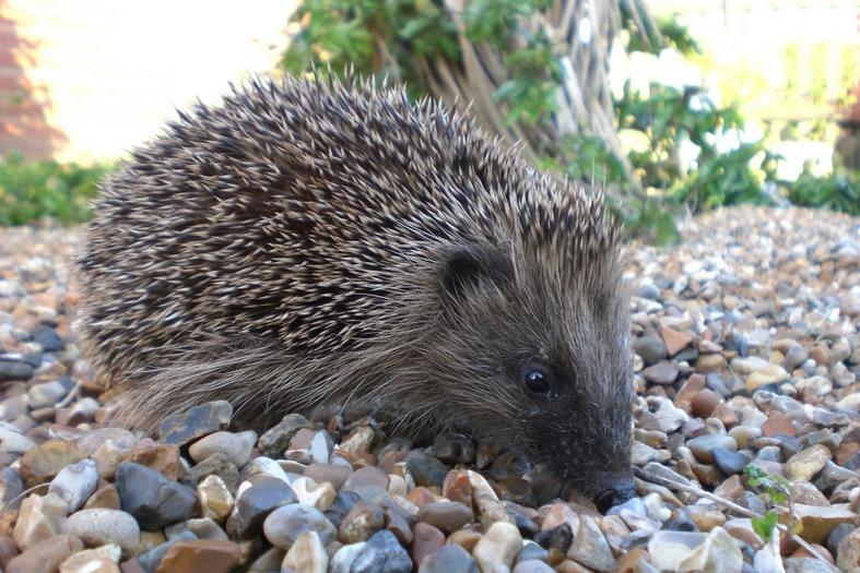 hedgehog pros and cons