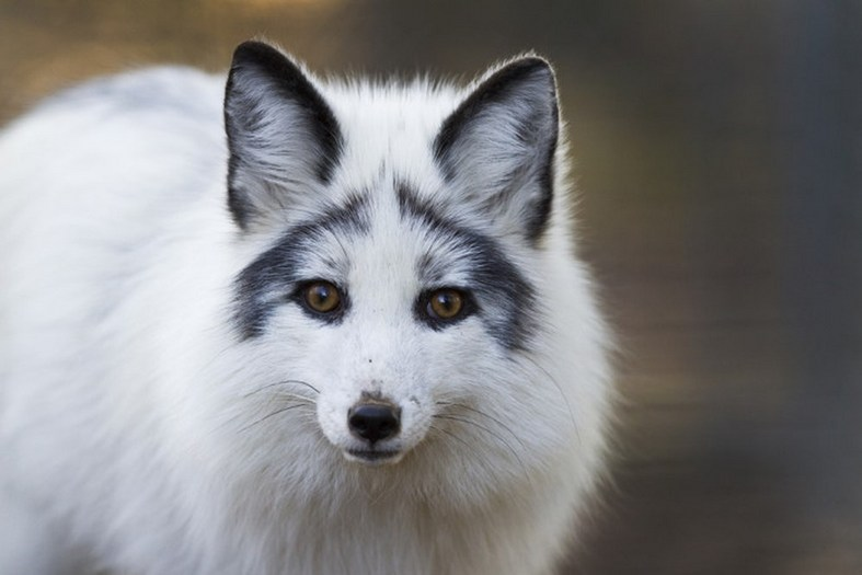 the myth of the marble fox as a pet pet comments
