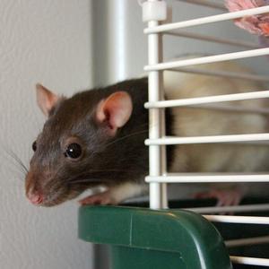 Best Rat Cage