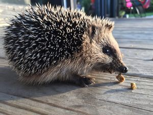 what food is best for a hedgehog