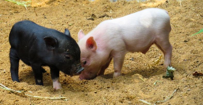 cute teacup pigs